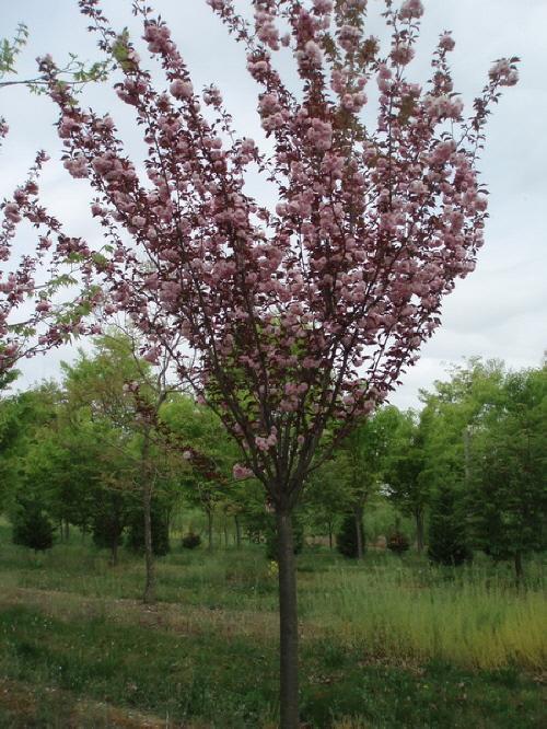 Wonderful Garden State Nj #1: Db_Prunus_serrulata_Kwanzan_31.jpg